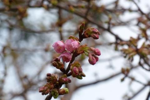 ほころぶ河津桜