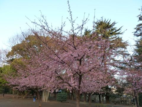 林試の森の河津桜