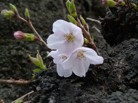 咲いたソメイヨシノ