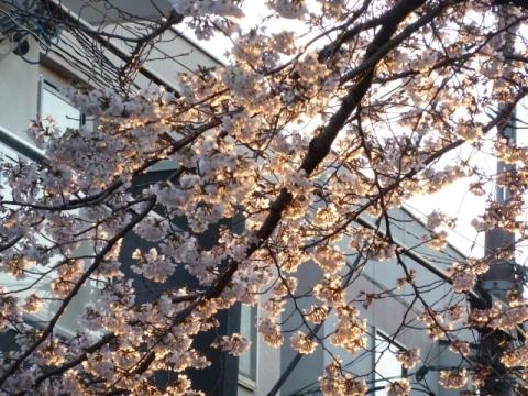 朝日に照らされる桜