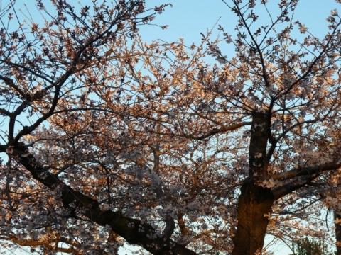 朝日を浴びる桜の木