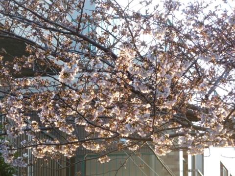 朝日に照らされる桜2
