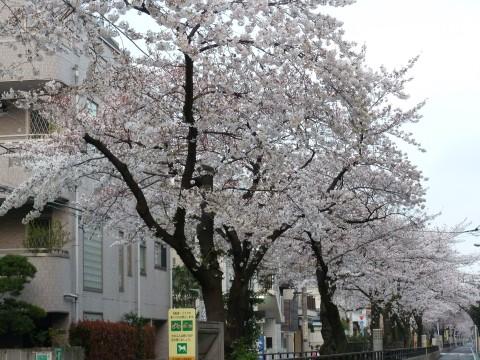 立会川緑道の桜1