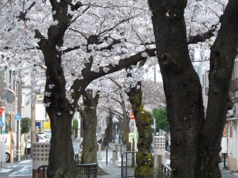 立会川緑道の桜2