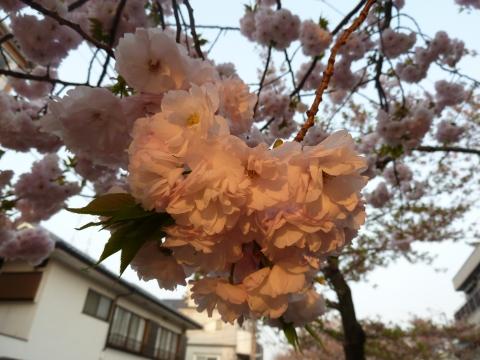 朝日を浴びるイチヨウの花の塊