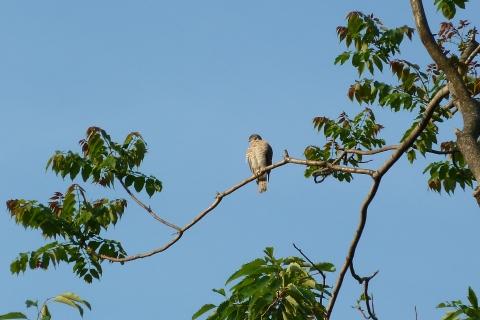 枝に止まる猛禽類