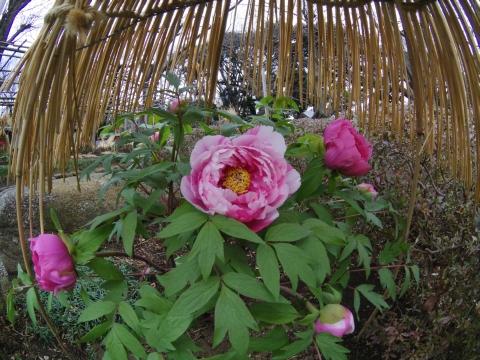 フィッシュアイで牡丹の花