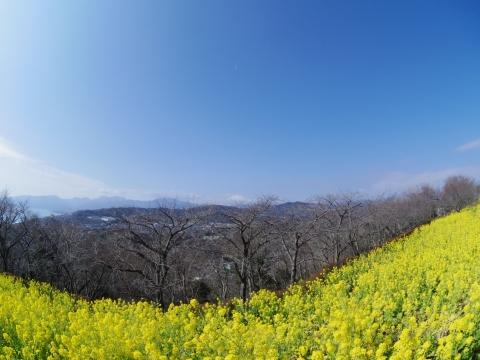 フィッシュアイで富士山と菜の花