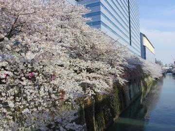 雅叙園前の桜