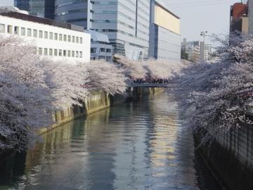 目黒新橋からの桜