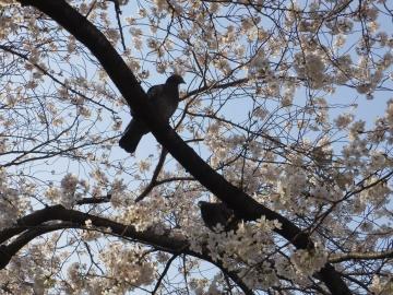 お花見するハト