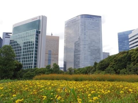 汐留ビル群と黄色のキバナコスモス