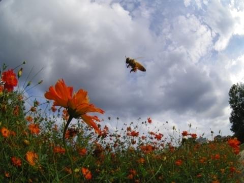キバナコスモスに飛んできたミツバチ