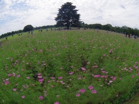 原っぱ東花畑のコスモス畑4
