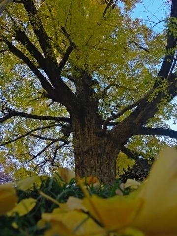 見上げたイチョウの木2