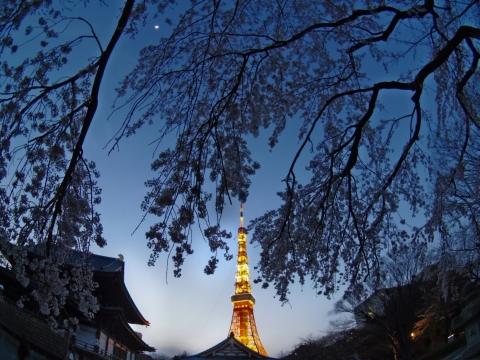 桜に包まれた東京タワー