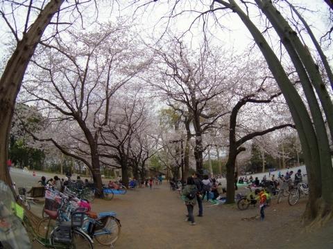 思いでの桜並木