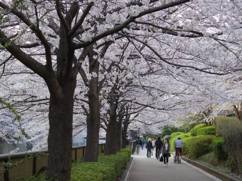 防衛省脇の桜
