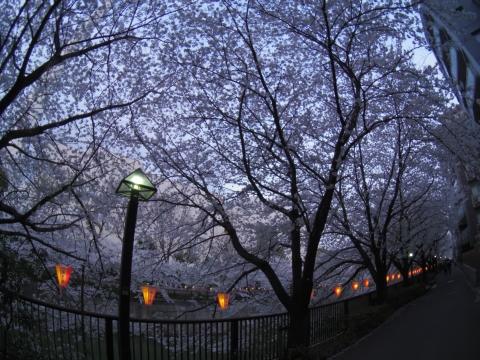 桜まつりの提灯灯る
