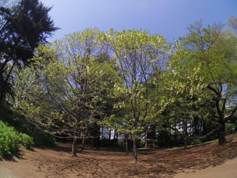 新宿御苑のハンカチノキ
