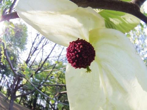 ハンカチノキの雌花