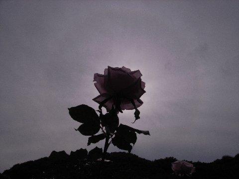 日暈とバラ5