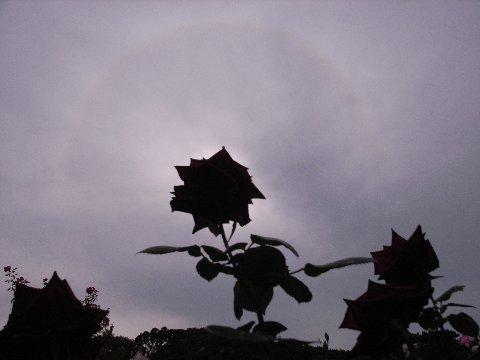 日暈とバラ7