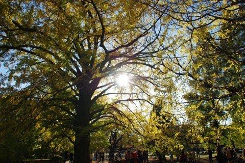 陽の光を浴びるイチョウの木
