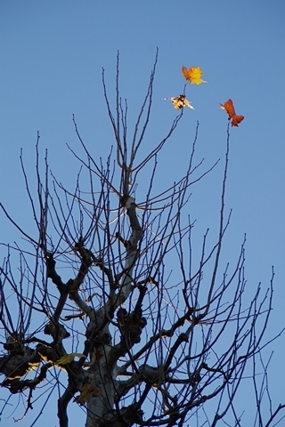 散り残るプラタナスの葉