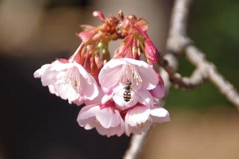 寒桜に止まるヒラタハナアブ.JPG