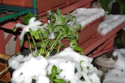 雪が積もったクリスマスローズ