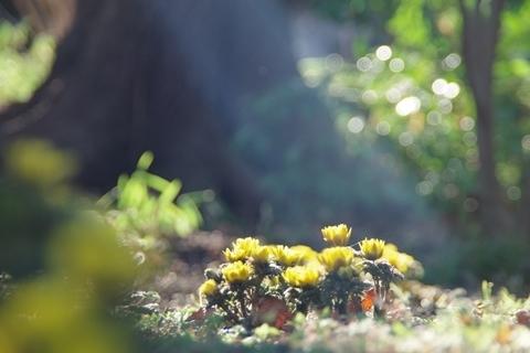 木漏れ日と福寿草3