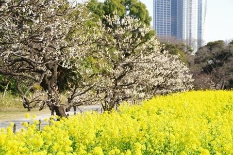 梅林と菜の花