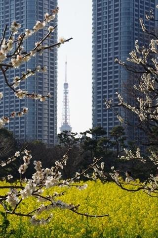 白梅に囲まれた東京タワー