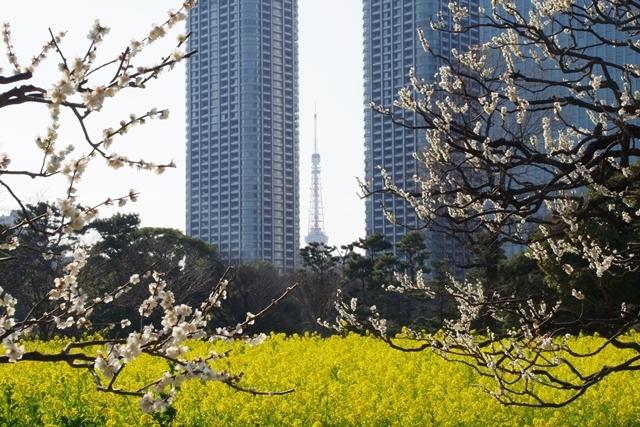 菜の花畑から東京タワー