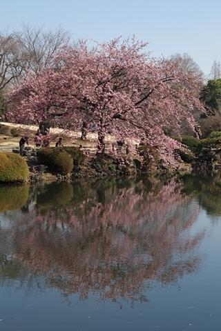 池に映る修善寺寒桜