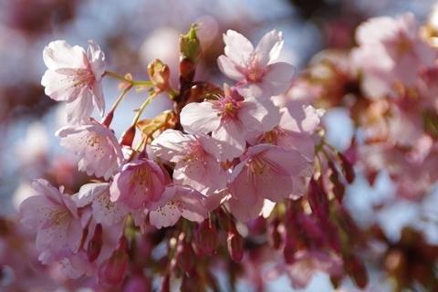 輝く修善寺寒桜1