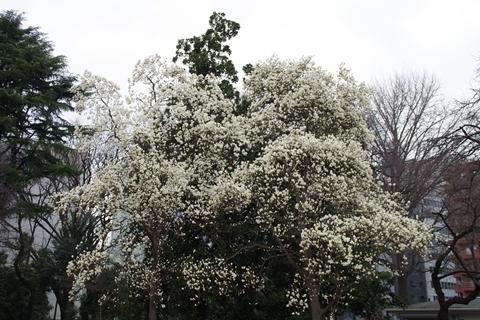 真っ白なハクモクレンの大木