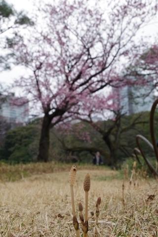 寒桜のお花見中のツクシ