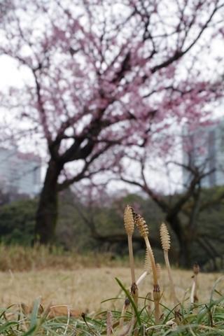 肩を寄せあって寒桜のお花見を楽しむツクシ