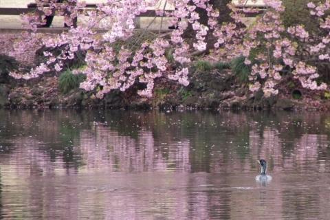 修善寺寒桜とカワウ