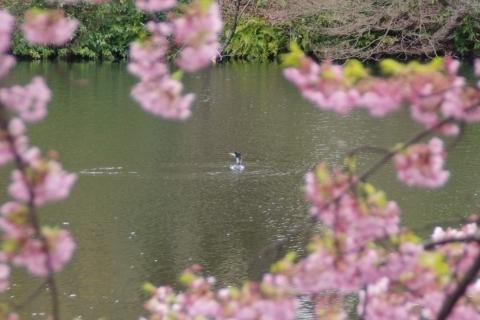 修善寺寒桜に囲まれたカワウ