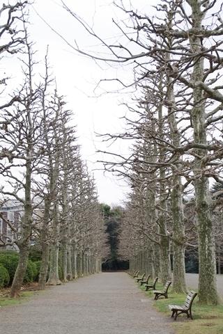 誰もいないプラタナス並木