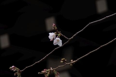 標本木の桜