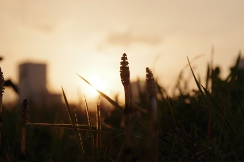 夕日を見送るツクシ