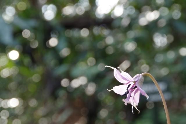 木漏れ日と戯れるカタクリの花