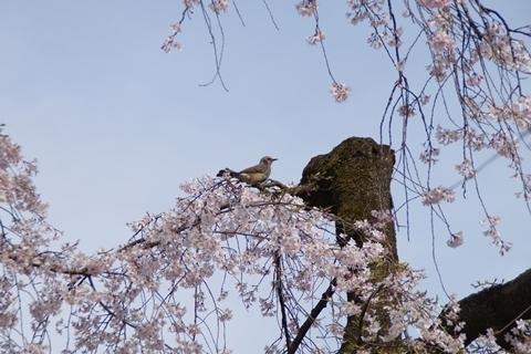 枝垂れ桜にヒヨドリ