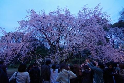 ライトアップ直後の枝垂れ桜