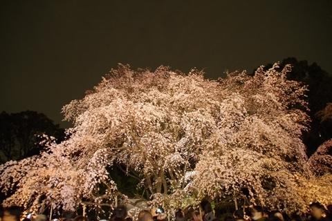 浮かび上がる枝垂れ桜