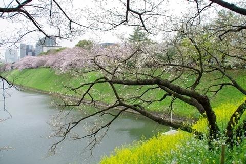 半蔵濠の菜の花と桜